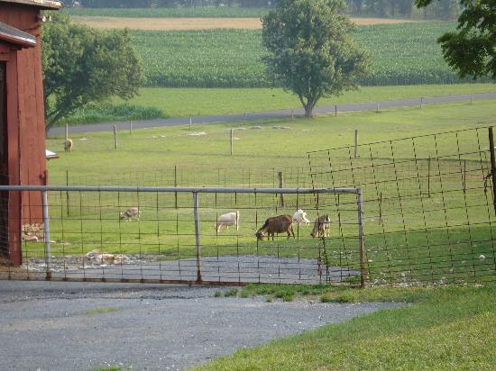 Country Log House Farm Bed and Breakfast: lonely goat