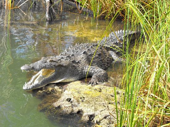 jamaican crocodile - photo #11