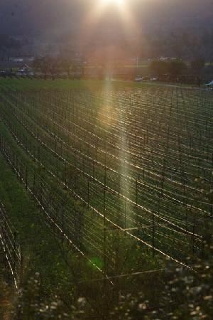 Hillcrest Bed & Breakfast: Vinyards at sunset