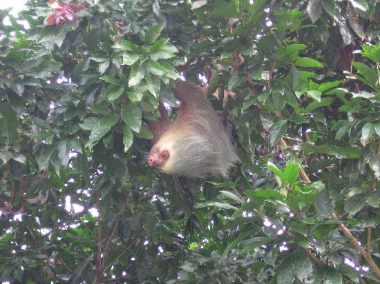 Hotel Monte Real: By the pool: sloth with baby (not visible in this picture)