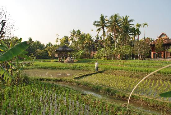 The Dhara Dhevi Chiang Mai: Rice paddy view