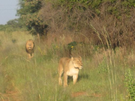 Mabula Private Game Reserve, Afrika Selatan: King of the jungle
