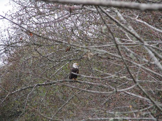Riverside Resort & Campground: Bald Eagle