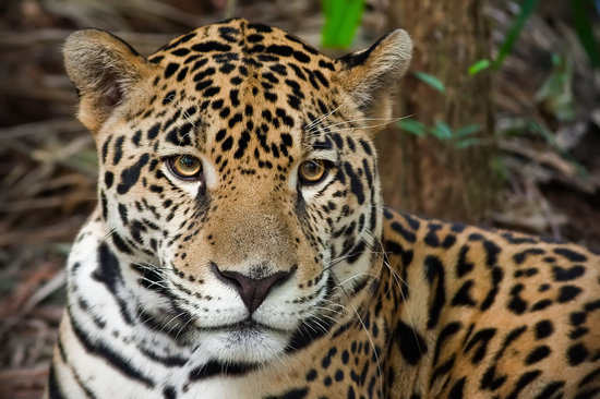 Belize City, Belize : Junior the Jaguar at Belize Zoo