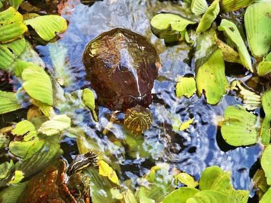 Hotel Las Olas Beach Resort: Turtle pond