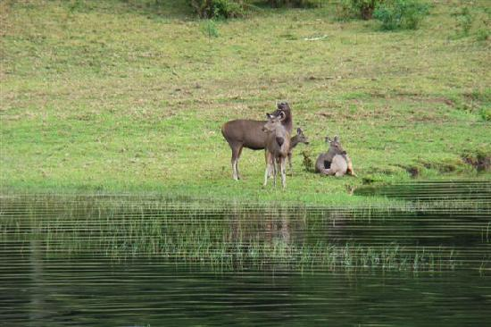 Periyar Wildlife Sanctuary: Sambar deer at lake shore