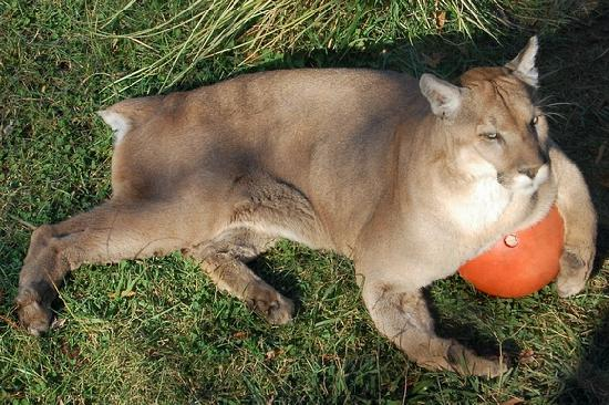 little rock cougars personals Richard mason: arkansas cougar sightings continue as reports of cougar   man shot in face in north little rock, police say a man was shot in the face in.