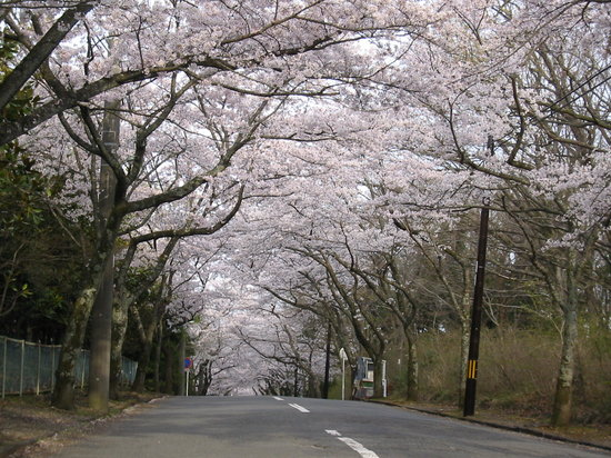 Cherry Blossom Trees at Izu Kogen Highlands
