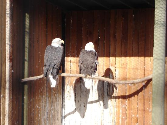 Kamloops Wildlife Park: Bald Eagles