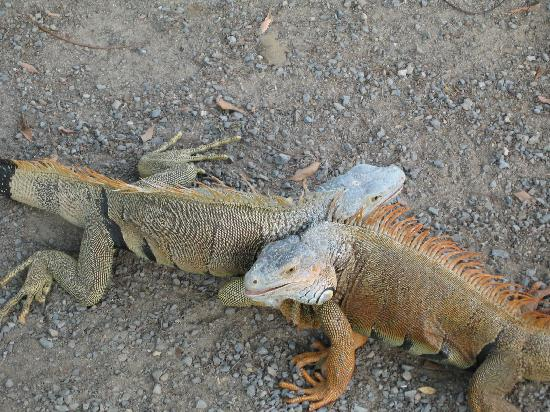 Fantasy Island Beach Resort: Iguanas fighting