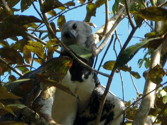 Embera Tours Panama: Hiking near Embera Village with Garceth Cunampio: Harpy Eagle!