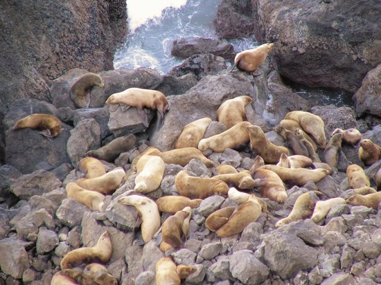 Орегон: Steller's Sea Lions, OR Coast, Viewpoint Just north of Sea Lion Caves
