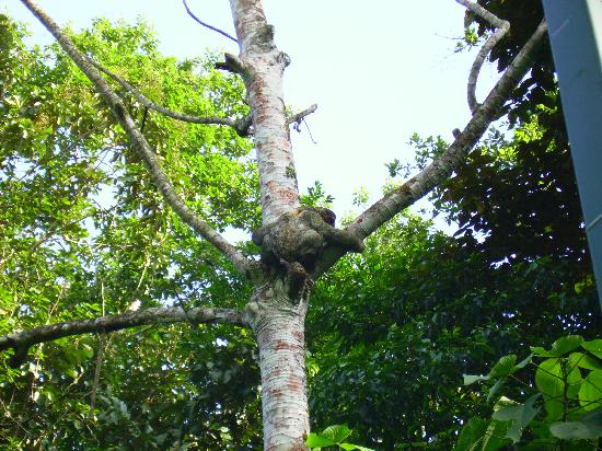 Tree Houses Hotel Costa Rica: resident sloth