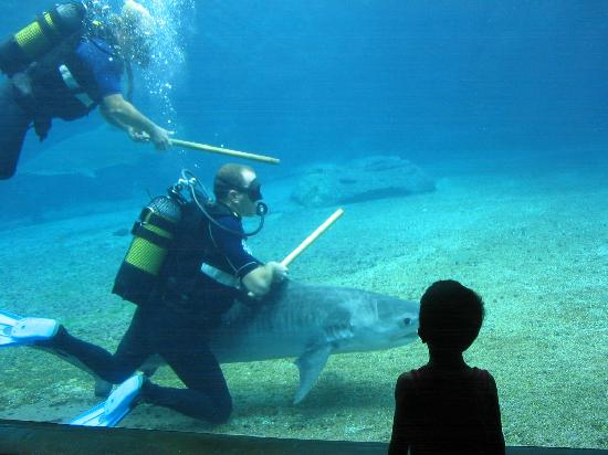 uShaka Sea World Aquarium: Aquarium Durban, Requin