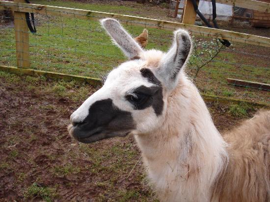 Stablegrove Bed & Breakfast : Jane the Llama