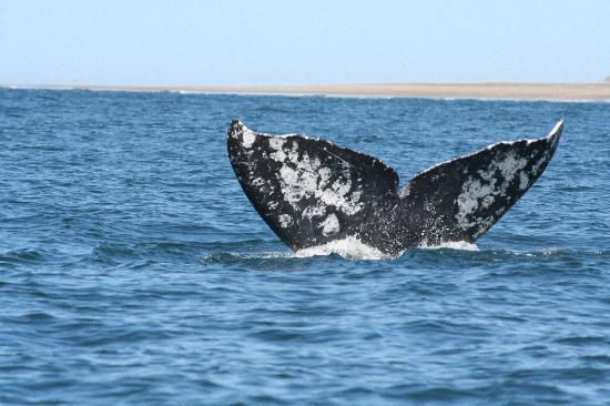 La Mision Loreto: Whale Tail
