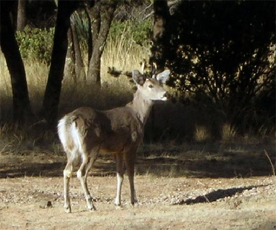 ‪‪Cochise Stronghold, A Nature Retreat‬: Coues deer outside our room‬