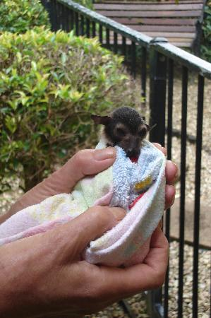 Kuranda, Australien: Young fruit bat orphan