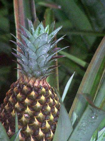 Golfo Dulce Retreat: Ananas am Zugang der Lodge