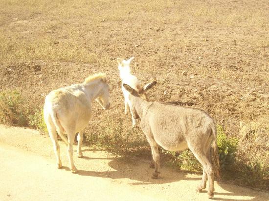 Parco Nazionale Asinara : asinara asini albini
