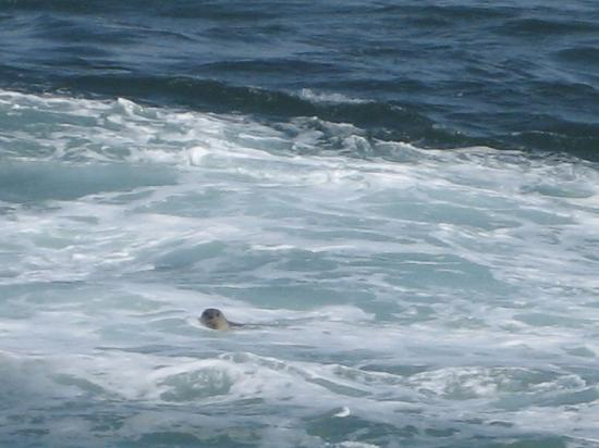 Yachats coastline: A seal peeking at me in the ocean by Yachats