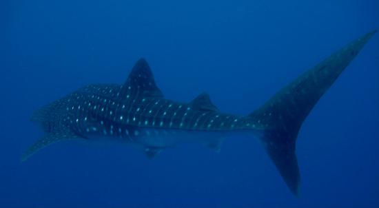 Oonas Dive Club Hotel: whale shark