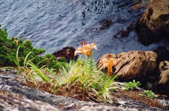 Sannoiwa: 岸壁の下には山ユリが。