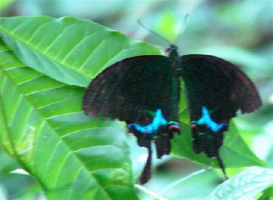 Thattekad, India: Paris Peacock butterfly