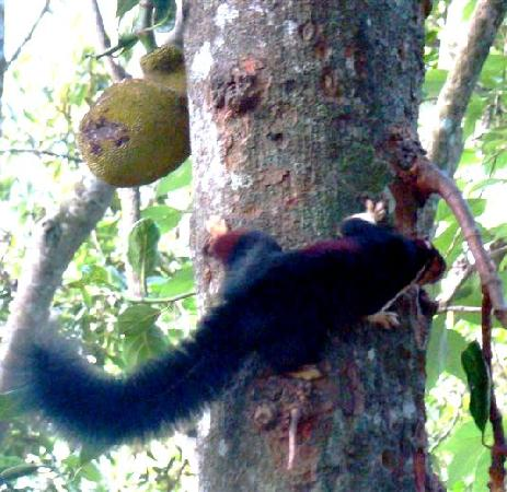 Thattekad, India: Giant malabar squirrel