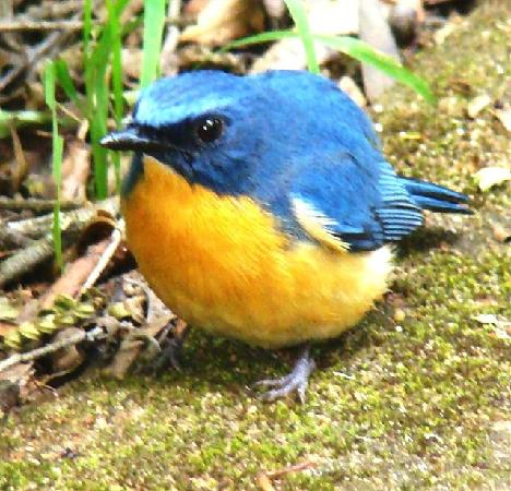 Thattekad, อินเดีย: Tickells Blue Flycatcher