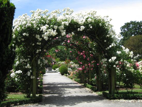 Christchurch Botanic Gardens: Rose covered arch at Christchurch botanical gardens