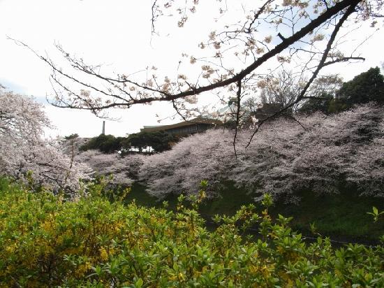 Chidorigafuchi: 桜で彩られた皇居のお堀と武道館