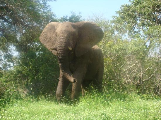 Lydenburg, แอฟริกาใต้: Elephant at close quarters
