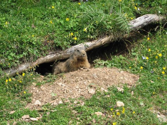 Hotel Saltria - true alpine living: marmotta