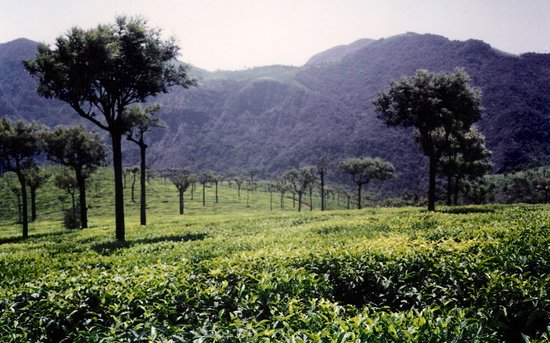 Ooty (Udhagamandalam), India: tea garden at ooty
