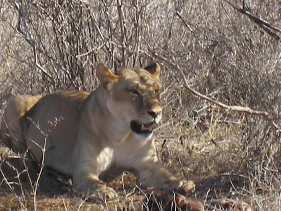 Watamu, Kenia: la leonessa