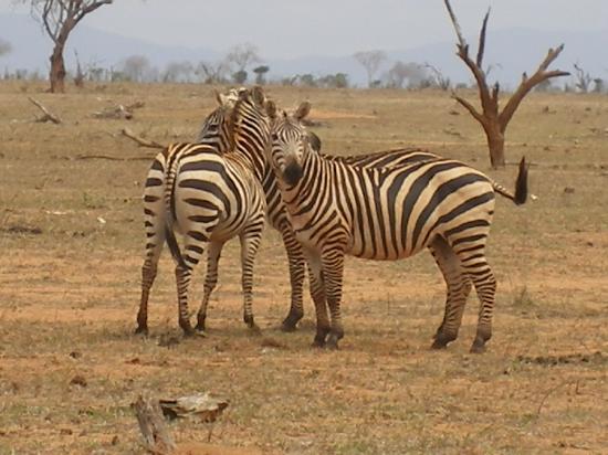 Watamu, Kenia: le zebre