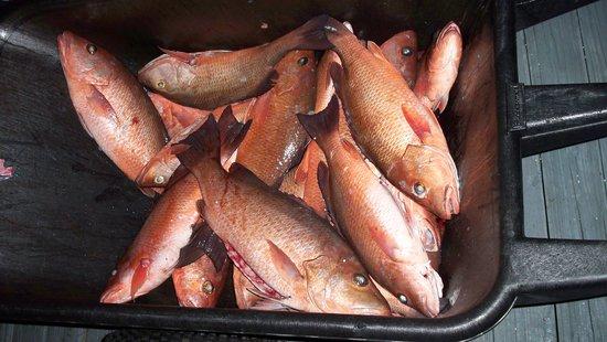 Bent Charters Fishing: Mangrove Snappppeeeerrrrsssssss