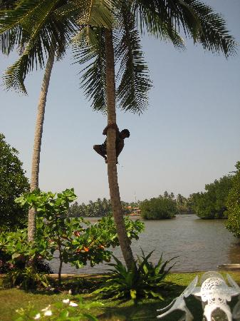 The Waterside Bentota : Climbing the coconut tree for a quick drink!!