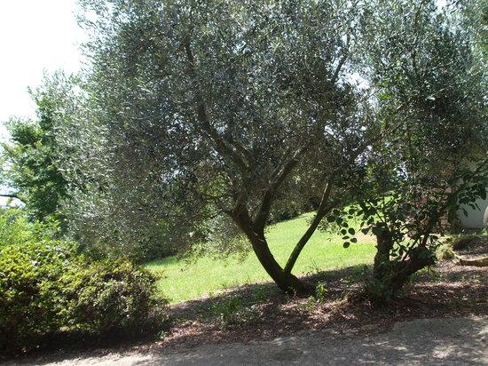 Setouchi, Japón: オリーブの木