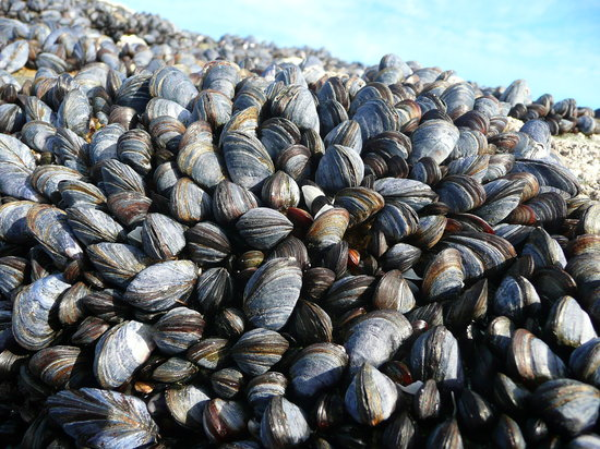 Isle of Eriskay, UK: Mussels on beach