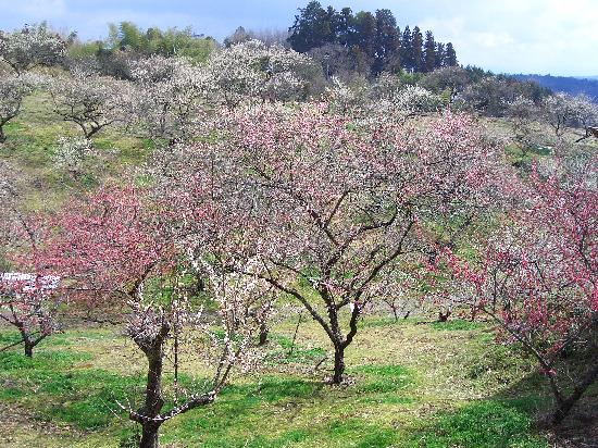 Tsukigase Plum Valley : 今花盛りです