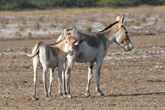 Rann Riders Safari Resort: Wild Asses