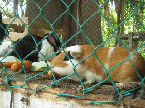 Glover's Atoll Resort: Pet Bunnies and Guinea Pig