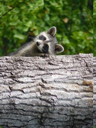 Cypress Grove Nature Park: Young Racoon