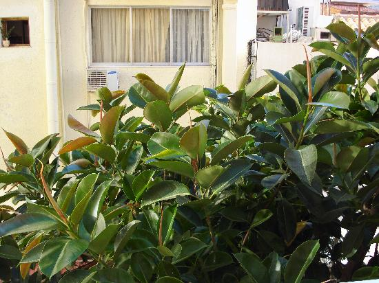 Hotel Aristea: MY RUBBER TREE