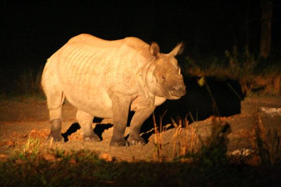 Rhino at Night Hollong