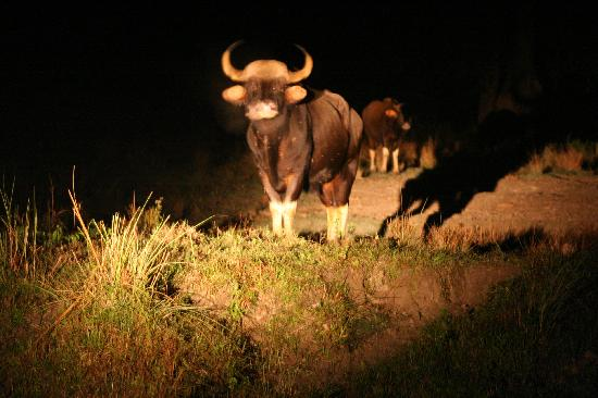 Bison at Night in Hollong