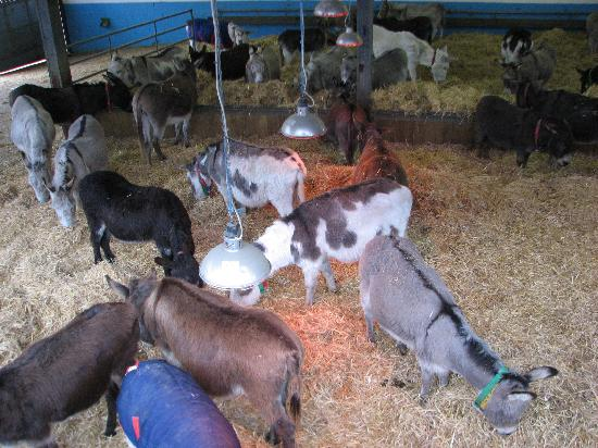 The Donkey Sanctuary: Plenty of donkeys in the barn