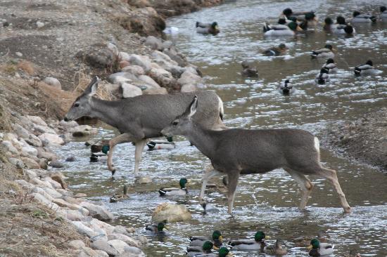 Canyon Creek Lodge: The deer crossing the creek